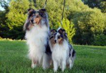 Колли и шелти: отличия и сходства пород