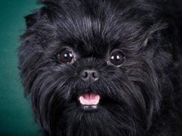 Порода аффенпинчер — собака не для всех