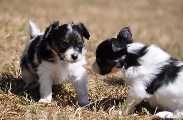 Два щеночка на прогулке.