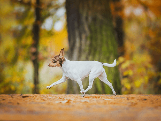 Той фокстерьер на прогулке в осеннем парке.