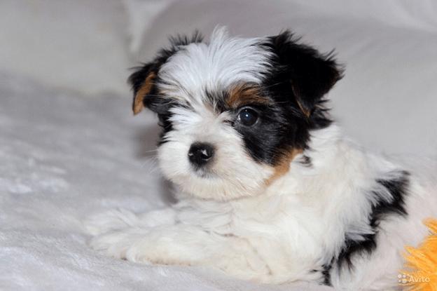 Маленький щеночек.