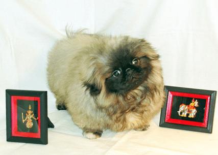 Величественный пекинес — собака с историей!