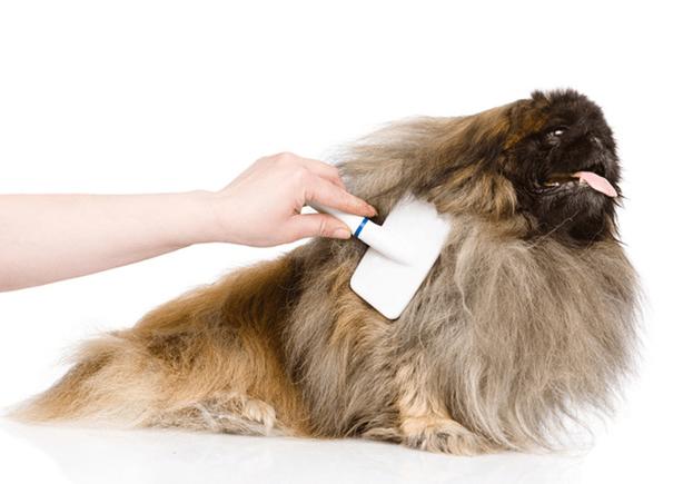 Пекинес — собака, требующая качественной гигиены!