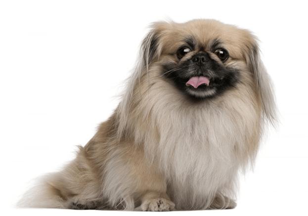 Пекинес — собака со славным характером!