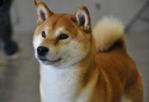 Японская порода сиба-ину: от носа до кончика хвоста
