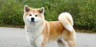 Собаки породы акита-ину: характер, повадки, воспитание