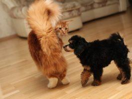Лучшие породы собак, которые ладят с кошками