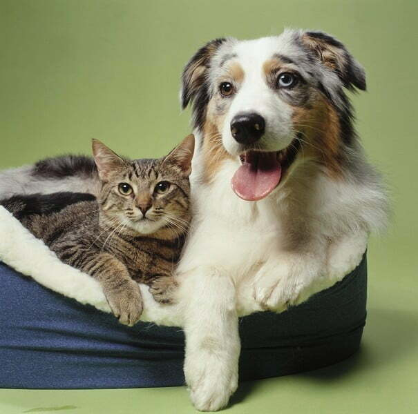10 пород собак, которые ладят с кошками.