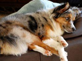 Лучшие тихие породы собак, которые меньше лают