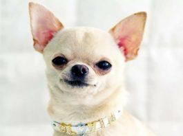 Самые долгоживущие породистые собаки