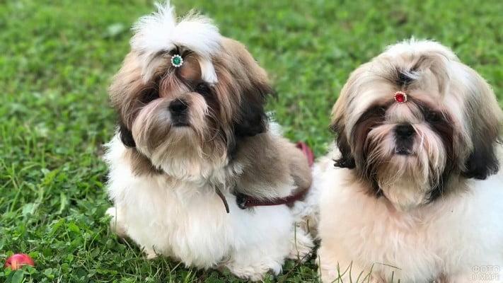 Ши-Тцу; самые долгоживущие собаки