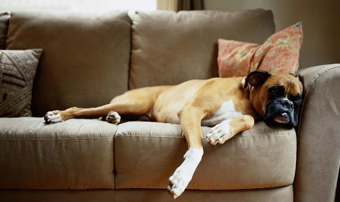 Бульмастифф; Самые неприхотливые собаки