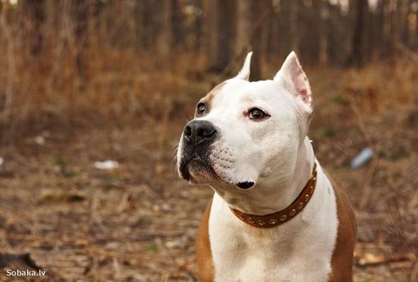 Американский стаффордширский терьер; собака для эмоциональной поддержки