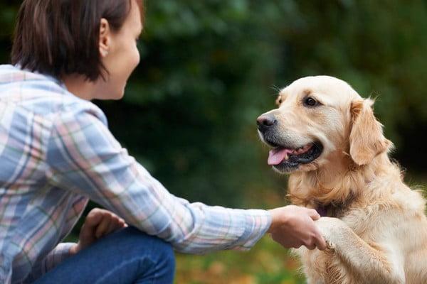 Золотистый ретривер; собака для эмоциональной поддержки