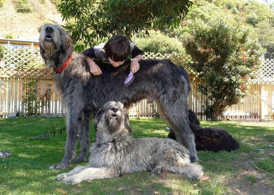 Ирландский волкодав; собака для эмоциональной поддержки