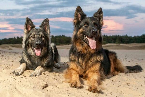 Немецкая овчарка; собака для эмоциональной поддержки