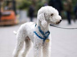 Лучшие породы собак, которые почти не линяют
