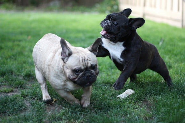 Французский бульдог; Собаки-компаньоны