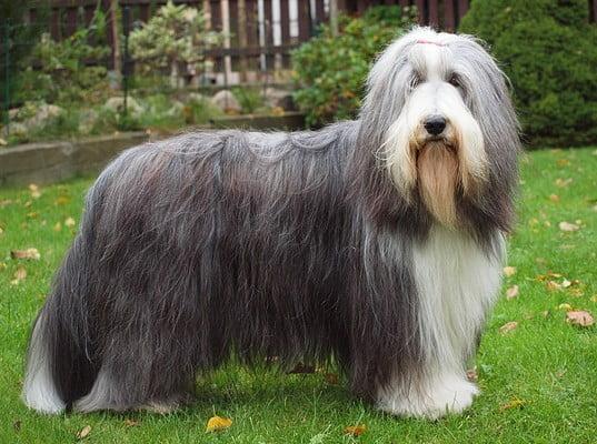 Бородатая колли; Собака средних размеров