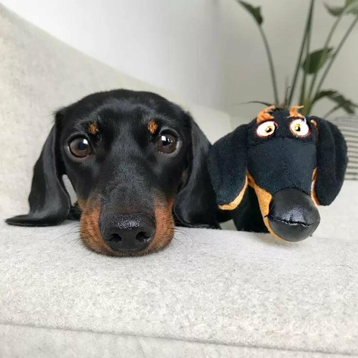 Такса; Маленькие породы: перечень самых популярных собачек