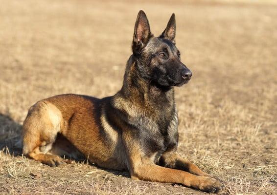 Бельгийский малинуа; Лучшие сторожевые собаки для охраны и защиты.