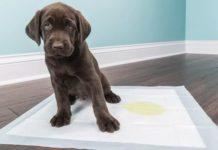 Как приручить щенка к туалету