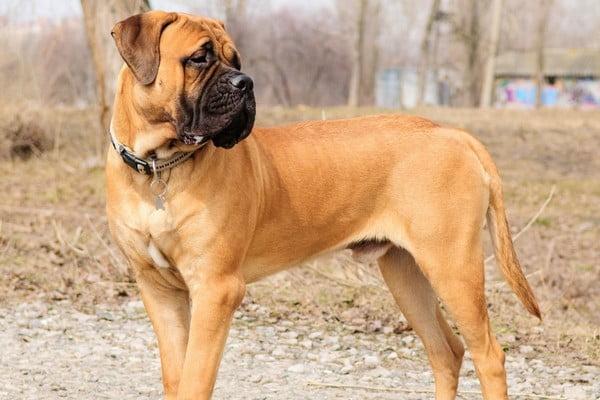 Бульмастиф; Лучшие сторожевые собаки для охраны и защиты.