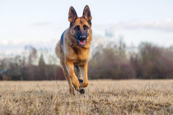 Немецкая овчарка; Лучшие сторожевые собаки для охраны и защиты.