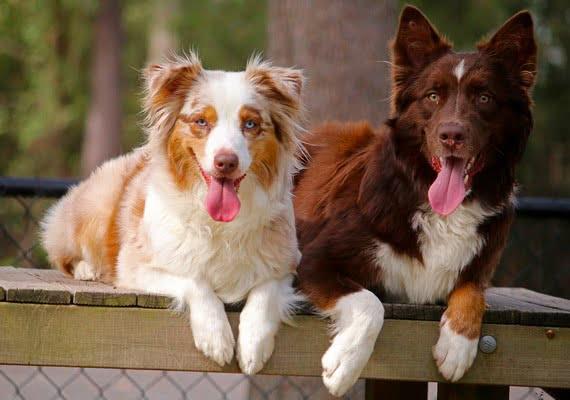 Как подружить двух собак?