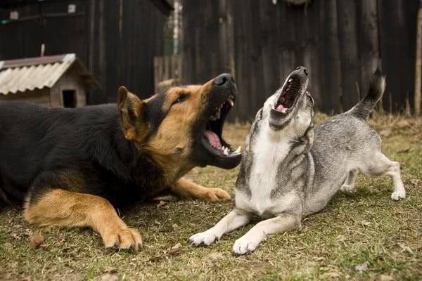 Как подружить двух собак? Две собаки в одном доме