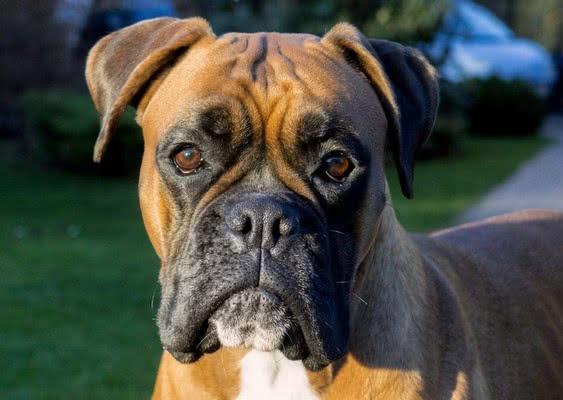 Боксер; Самые популярные породы собак в этом году