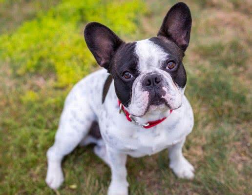 Французский бульдог; Самые популярные породы собак в этом году