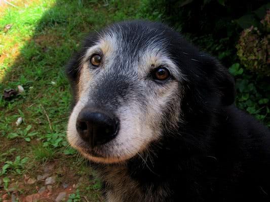 Зависимость размера собаки и её «человеческого» возраста; Возраст собаки по человеческим меркам