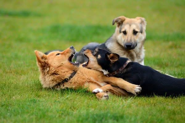 Собаки от трех до шести лет