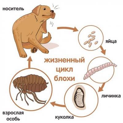 Блошиный жизненный цикл; блохи у собак