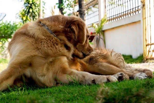 foto 7 04 - Блохи на собаках