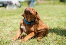 Как избавиться от блох у собаки