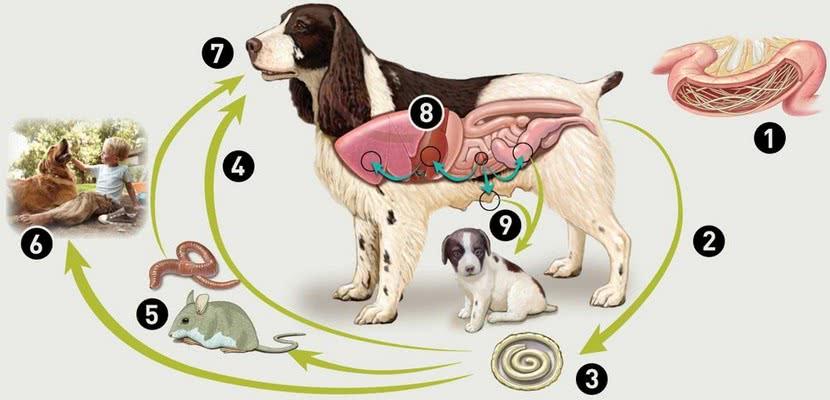 foto 9 08 - Паразиты у собак, о которых вы точно должны знать