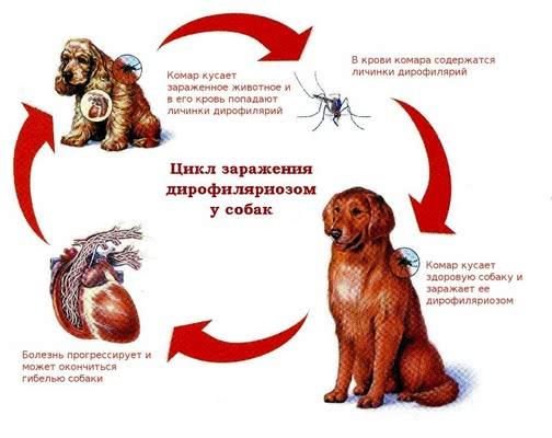 Сердечные глисты; Паразиты у собак