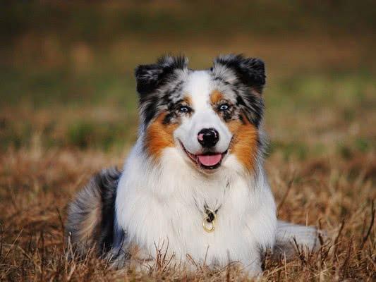 Австралийская овчарка (аусси); Самые активные породы собак