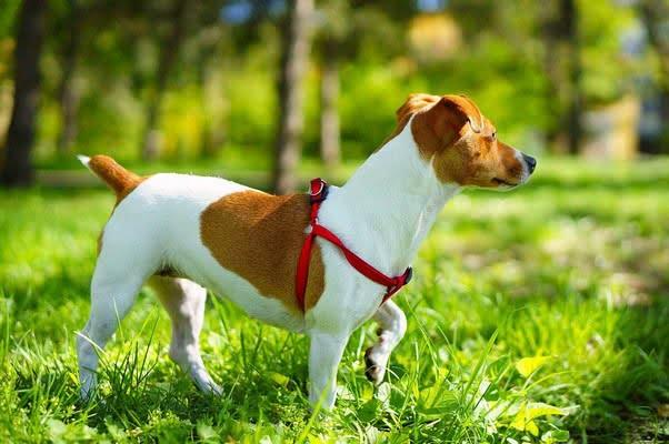 Джек-рассел-терьер; Самые активные породы собак