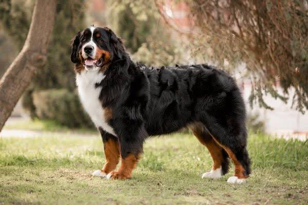 Бернский зенненхунд (бернская овчарка, бернская пастушья собака); Самые активные породы собак