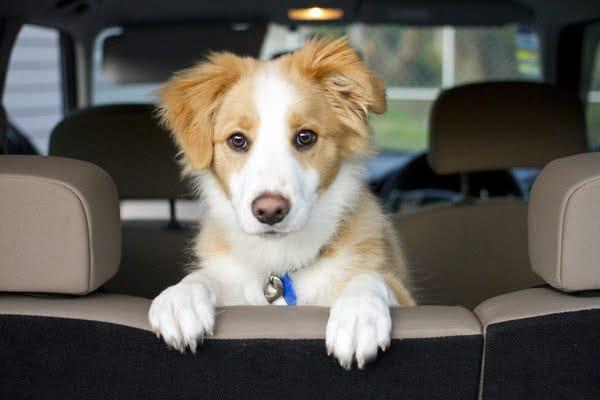 Уберите у питомца страх перед путешествием; как перевозить щенка в машине