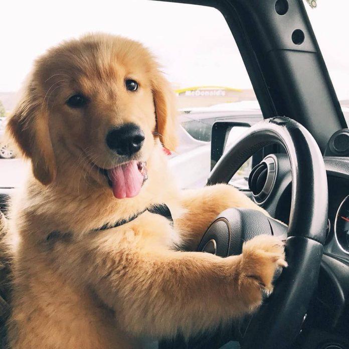 Как приучить щенка к поездкам в автомобиле