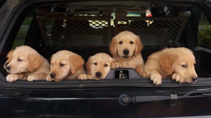 Очень короткие поездки; как перевозить щенка в машине