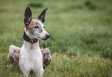 Как не потерять щенка: правильная идентификация питомца