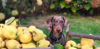 Какие фрукты можно давать собакам?