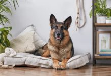 Немецкая овчарка - характеристики породы и её история