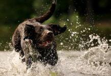 Лучшие породы собак, которые обожают плавать