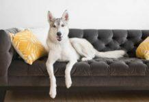 Дисплазия локтевого сустава у собак